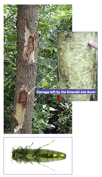 Emerald Ash Borer Warrington
